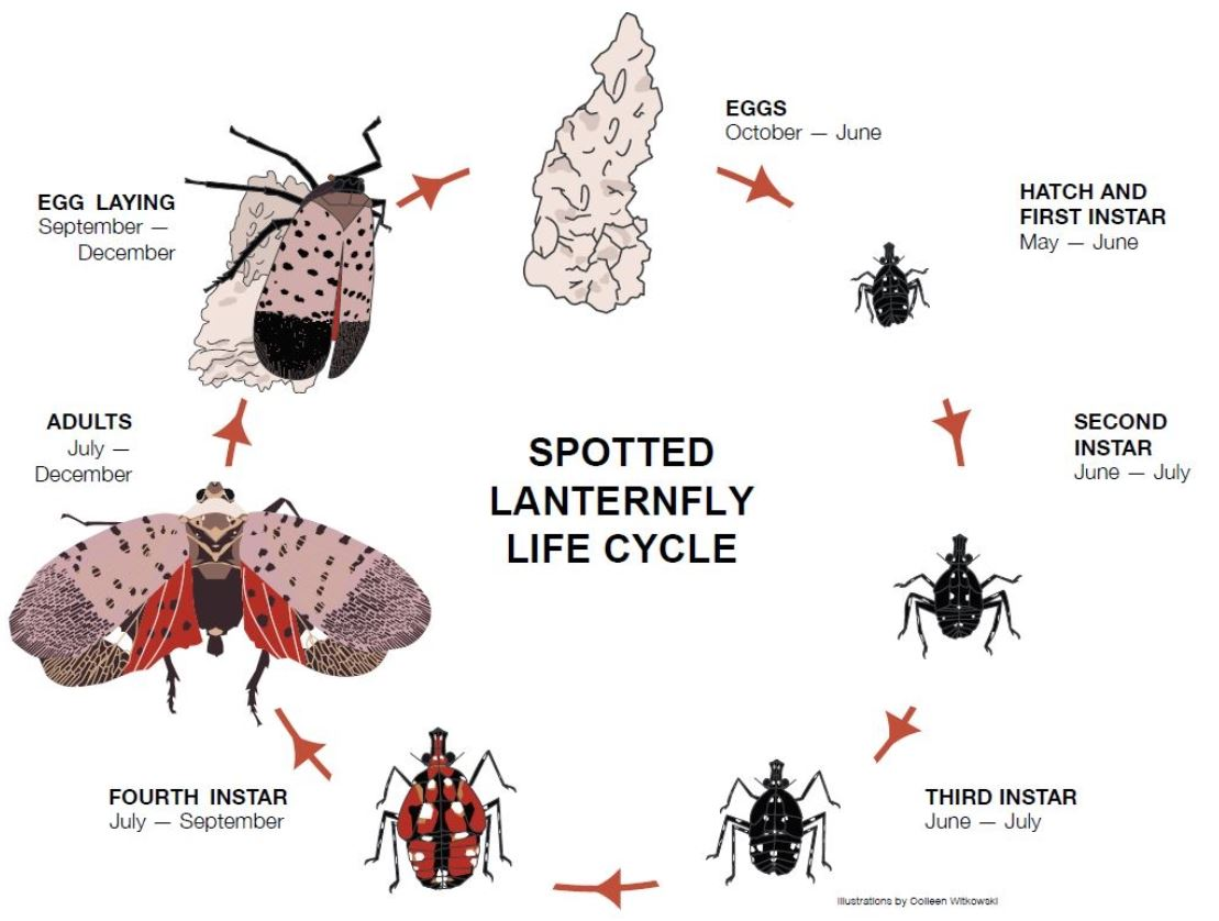PennState NickSloff_ Sptted LanternFly_LifeCycle