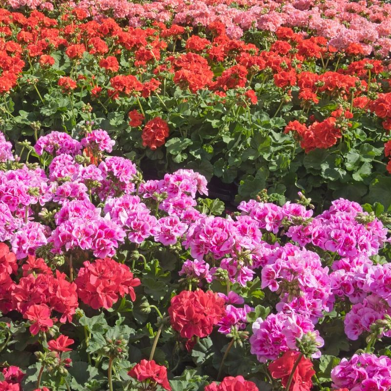Image of geraniums